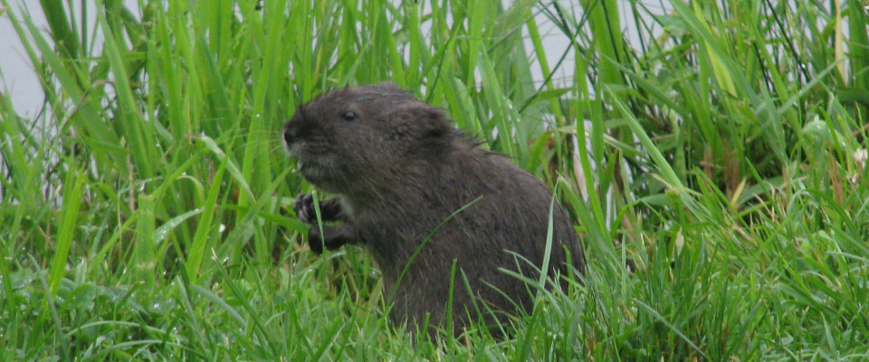 Image of Beaver in grass